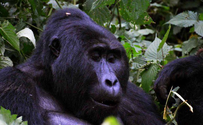 A mountain gorilla silverback in Bwindi Impenetrable National Park