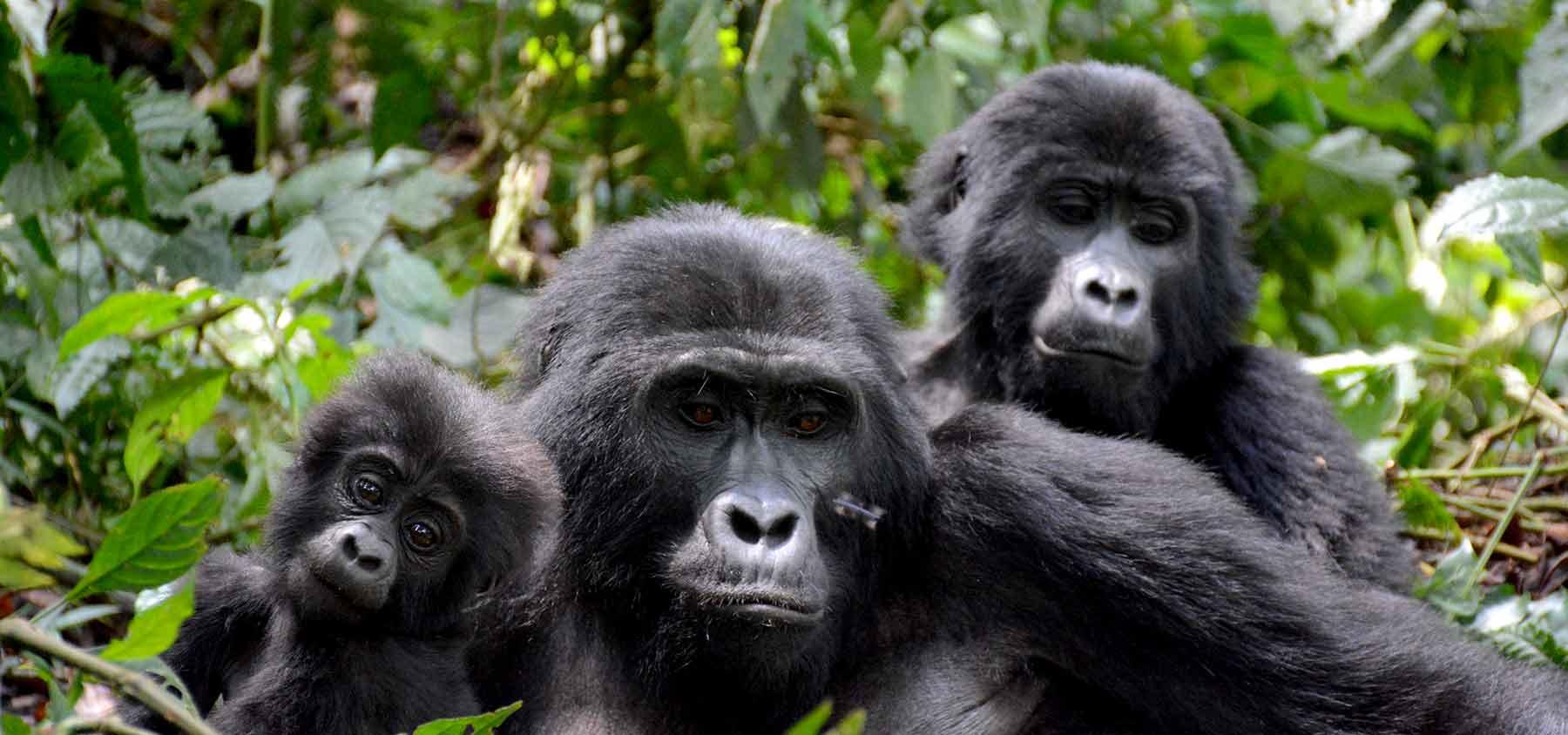 A family of +mountain+gorillas_in*Bwindi+Uganda+travel_with+Kwezi+Outdoors