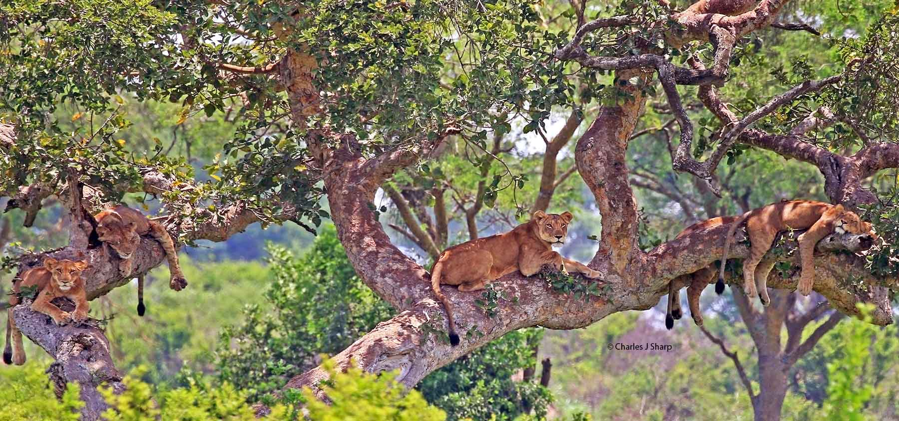 tree-climbing lions of Queen Elizabeth National Park+Uganda+travel_with+Kwez+Outdoors