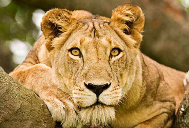 Travel with Kwezi Outdoors to see tree climbing lions of Queen Elizabeth National Park