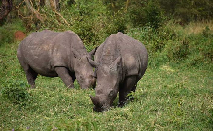 Track rhinos on foot at the Ziwa Sanctuary+Uganda+travel_with+Kwez+Outdoors