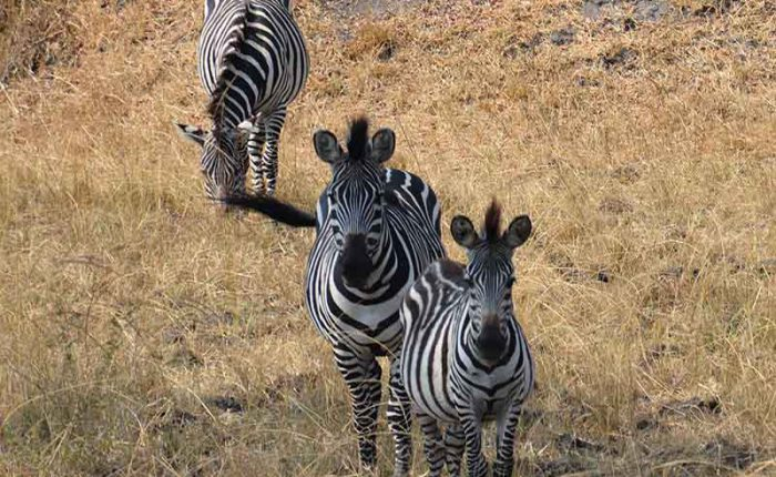 Take a safari walk and meet the zebras of Lake Mburo National Park+Uganda+travel_with+Kwez+Outdoors